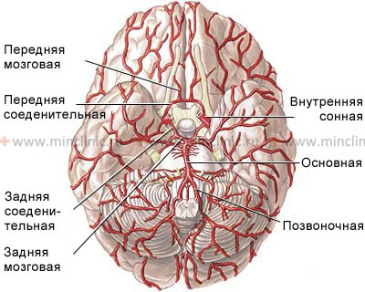 Vertebral arteries merge to form the basilar artery.