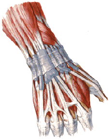 The tendon sheath wrist - the typical place of appearance tenosynovitis.