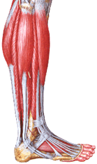 The Achilles tendon is the thick and the strongest of all the tendons of the human body.