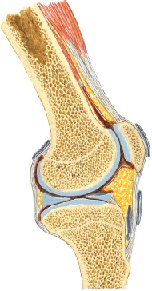 Side view of the patella (kneecap) and the meniscus of the knee.