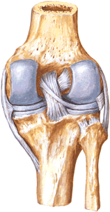 Rear view of the cruciate, lateral ligament and meniscus of the knee.