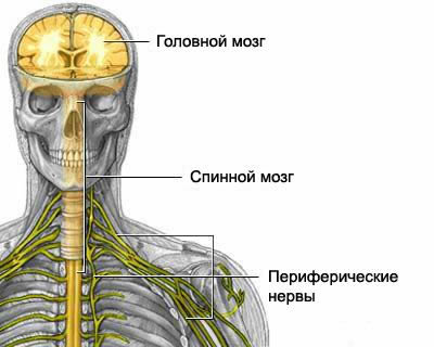 Anatomy of the nervous system, anatomy of the brain