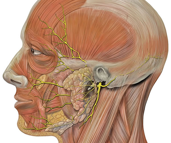 Superficial branches of the facial nerve - temporal, zygomatic, buccal, mandibular and cervical.