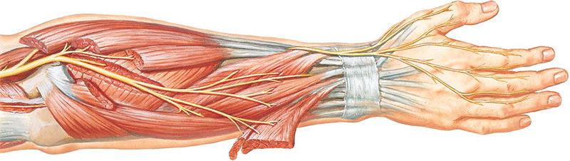 Изображение - Защемление плечевого сустава radialis_nerve_anatomy