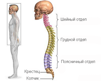 Human spine on computed tomography (CT) is divided into cervical, thoracic, lumbar and sacrum with coccyx.