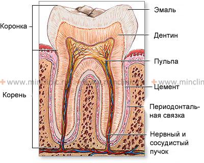 Вживить зуб в десну