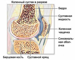 Anatomy of the knee joint in normal (ligament, meniscus, articular cartilage).