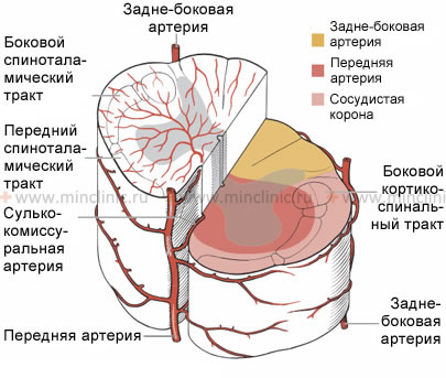 Spinal cord infarction (ischemic stroke), spinal cord arterial blood supply, spinal cord venous outflow, spinal vascular lesions syndromes, anterior spinal artery occlusion, posterior spinal artery occlusion, diagnosis and treatment in Moscow